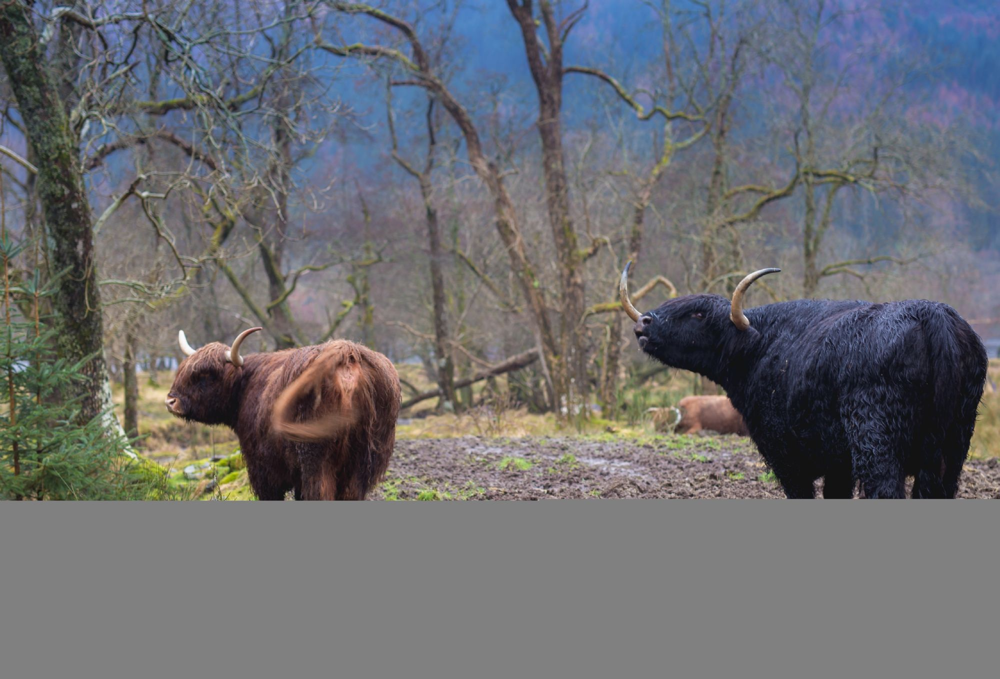 The highland cows