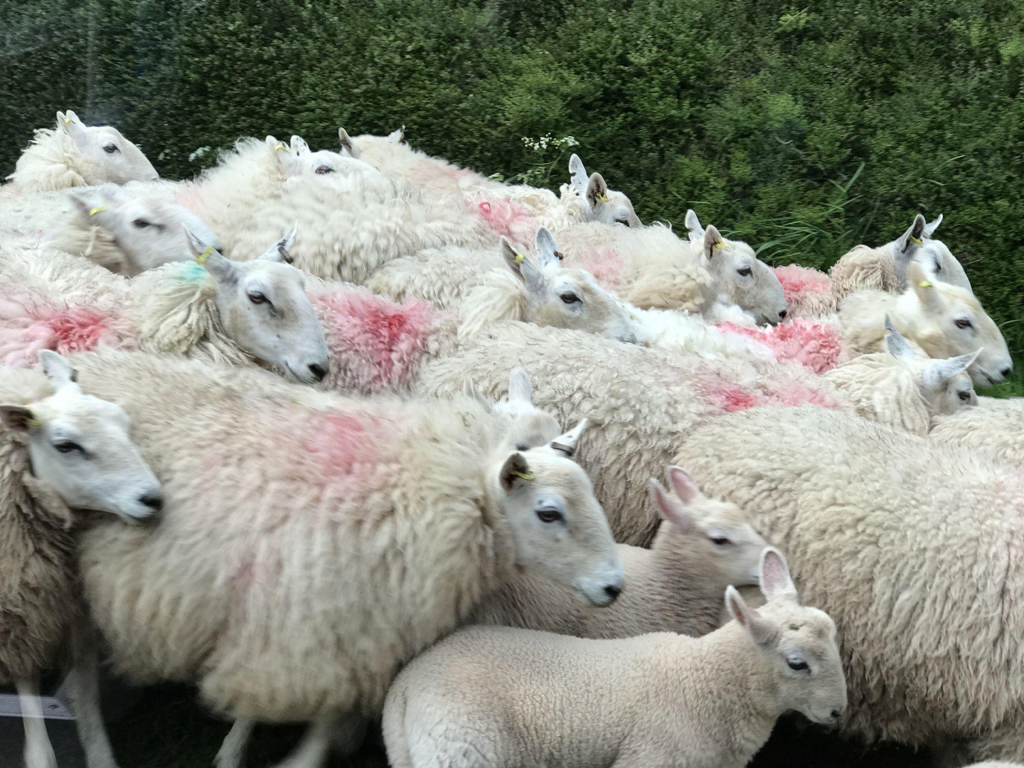 so... many sheep