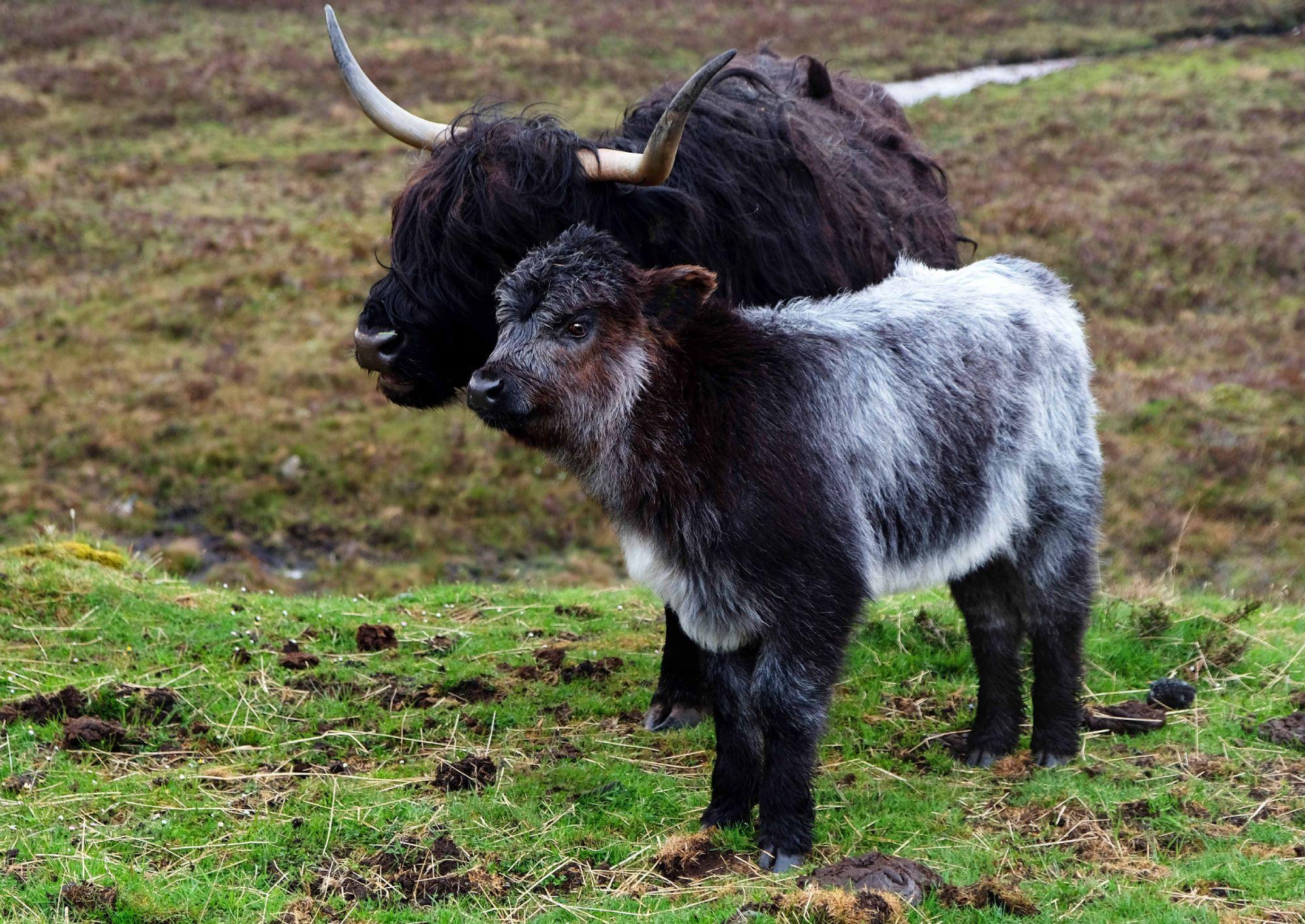 Irresistable Hairy Coos