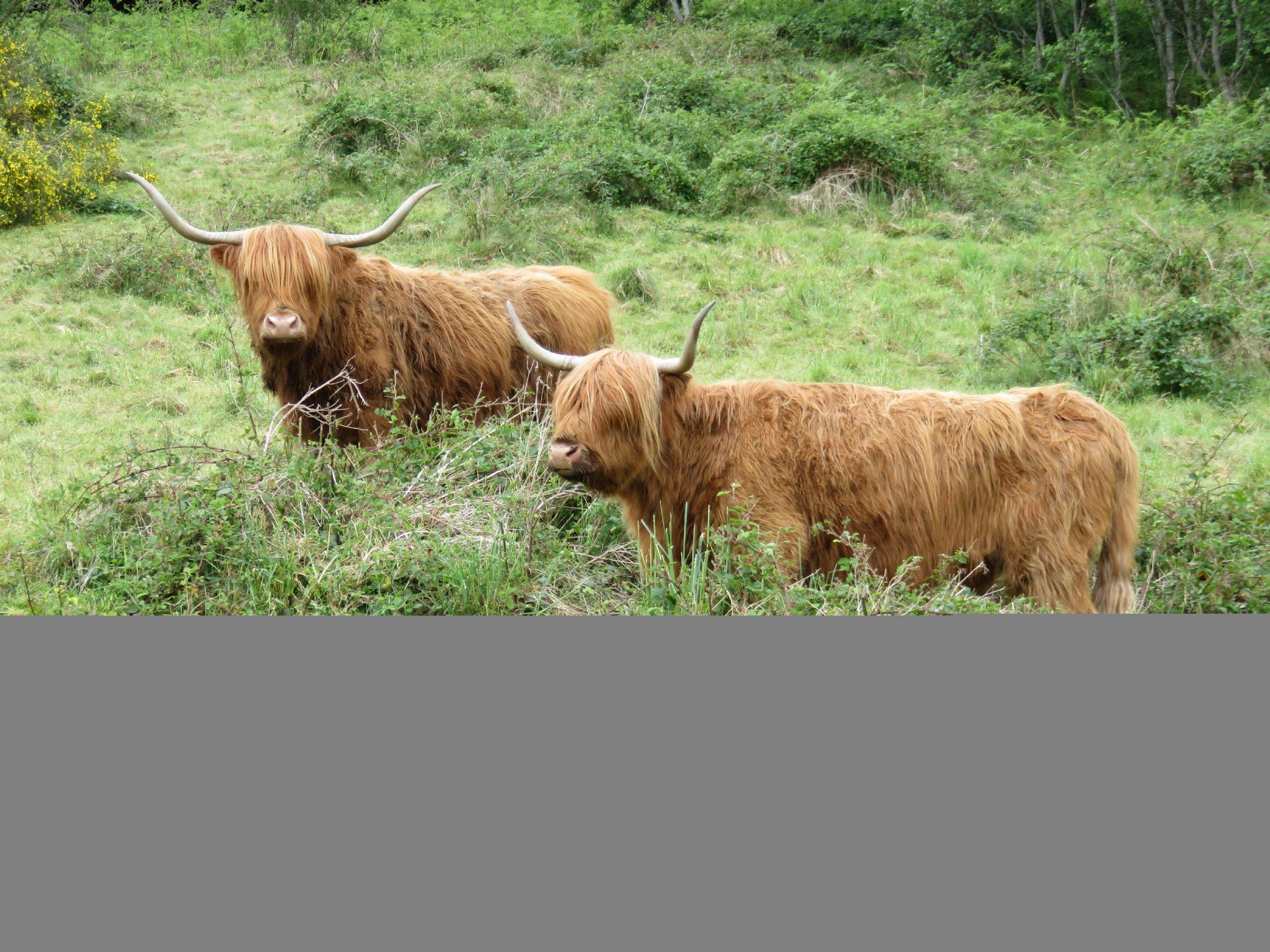 Highland Cows!