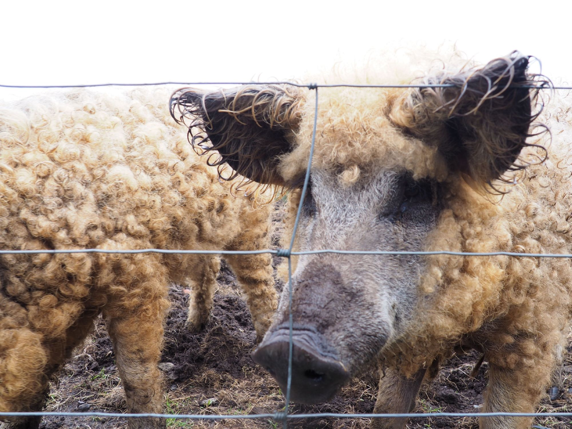 woolly pigs in Orkney
