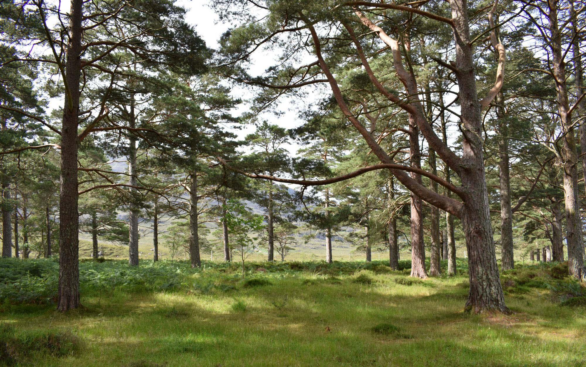 Scots pines on the Applecross