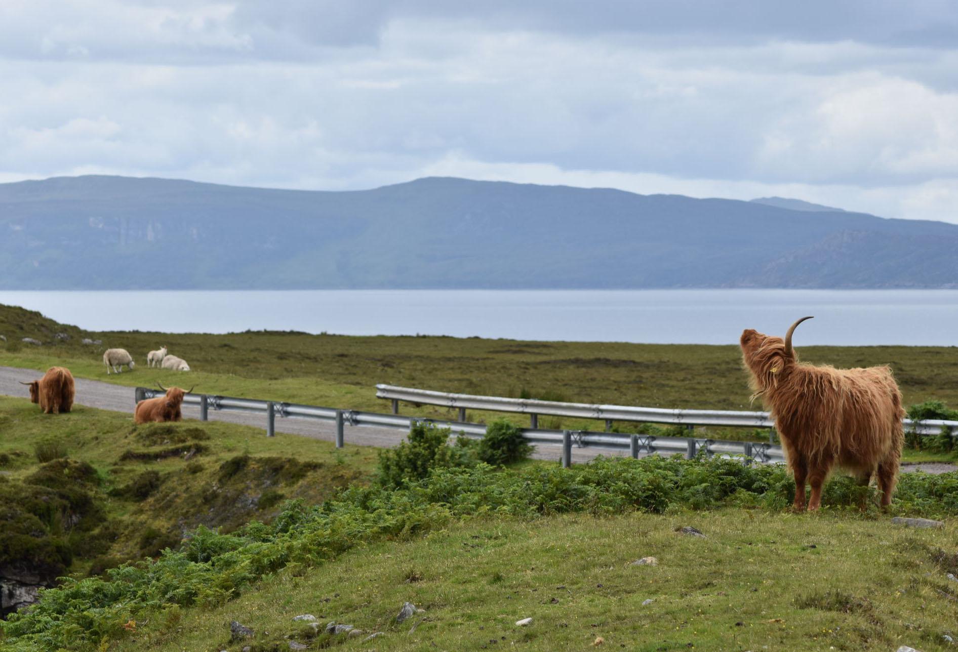 Hairy highland coos