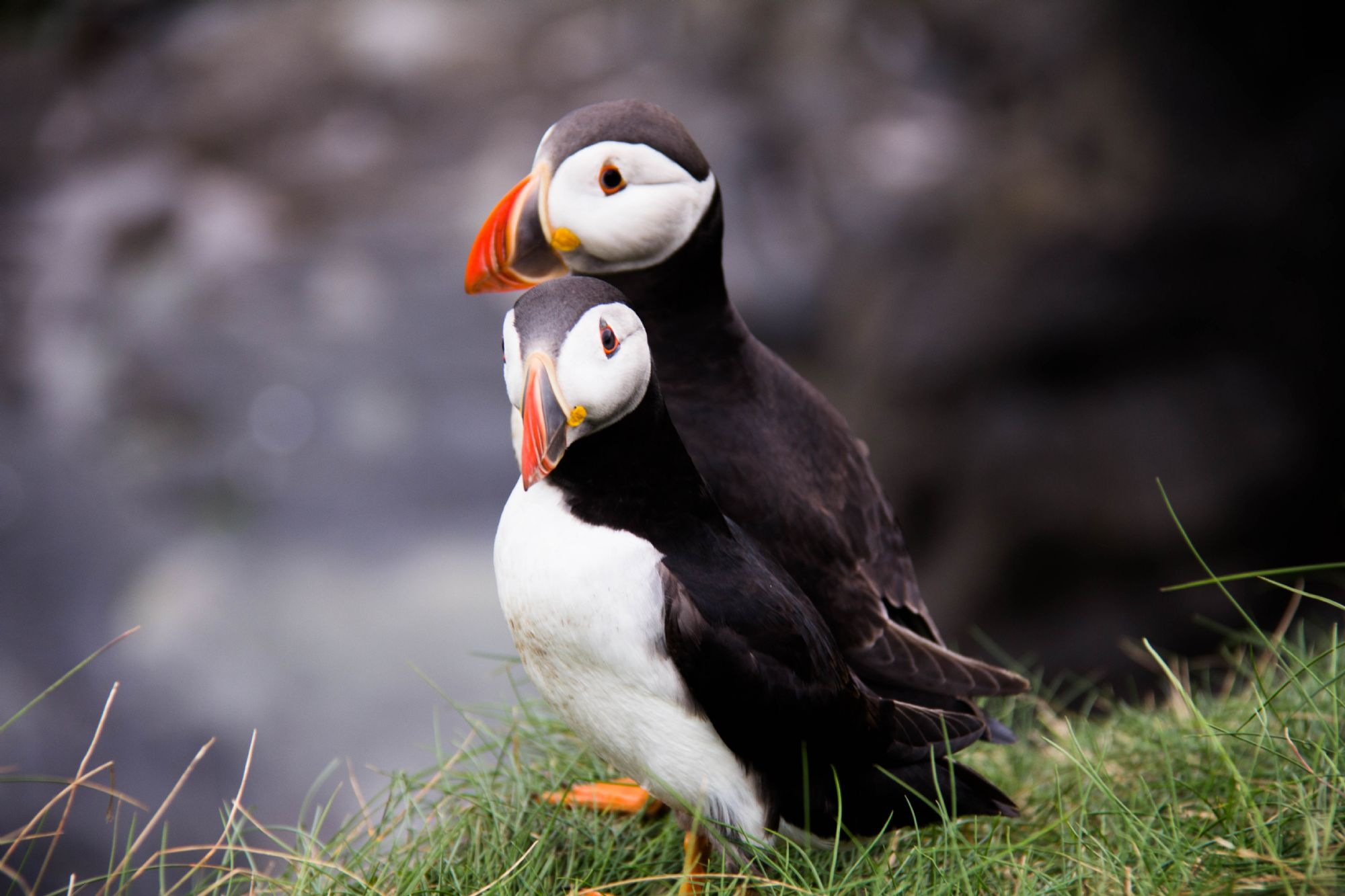 Adorable puffins