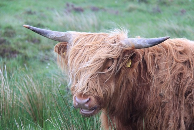 The Iconic Hairy Coo
