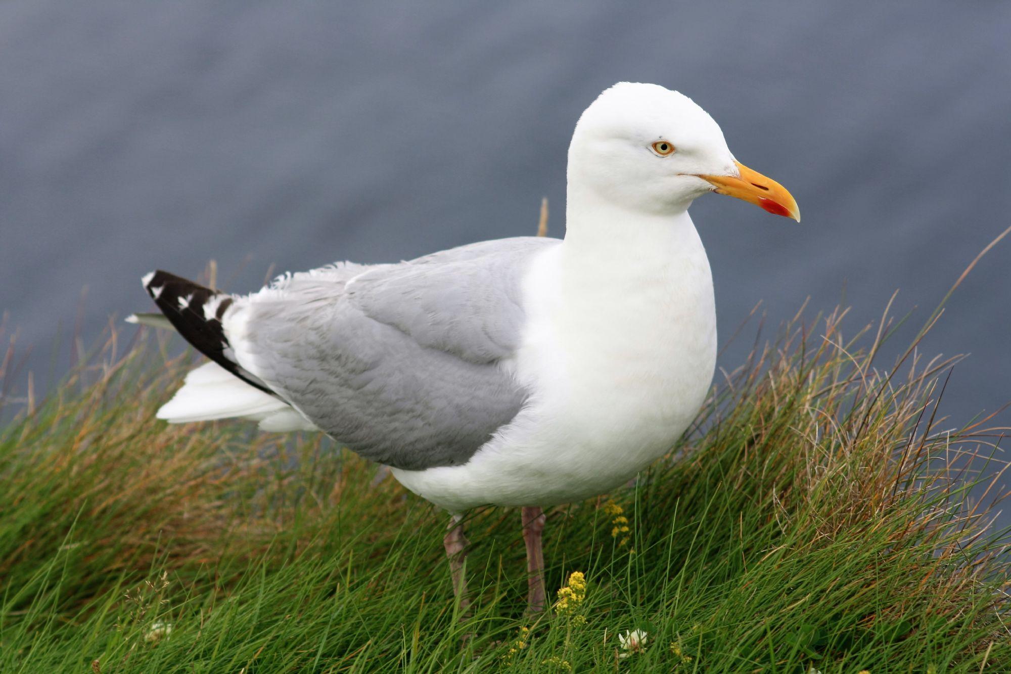 Beautifull Gull