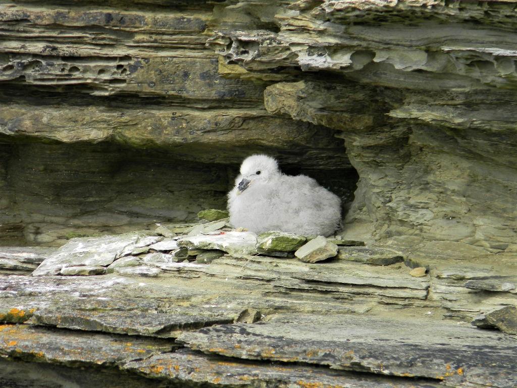 baby bird at Brough of Brisay