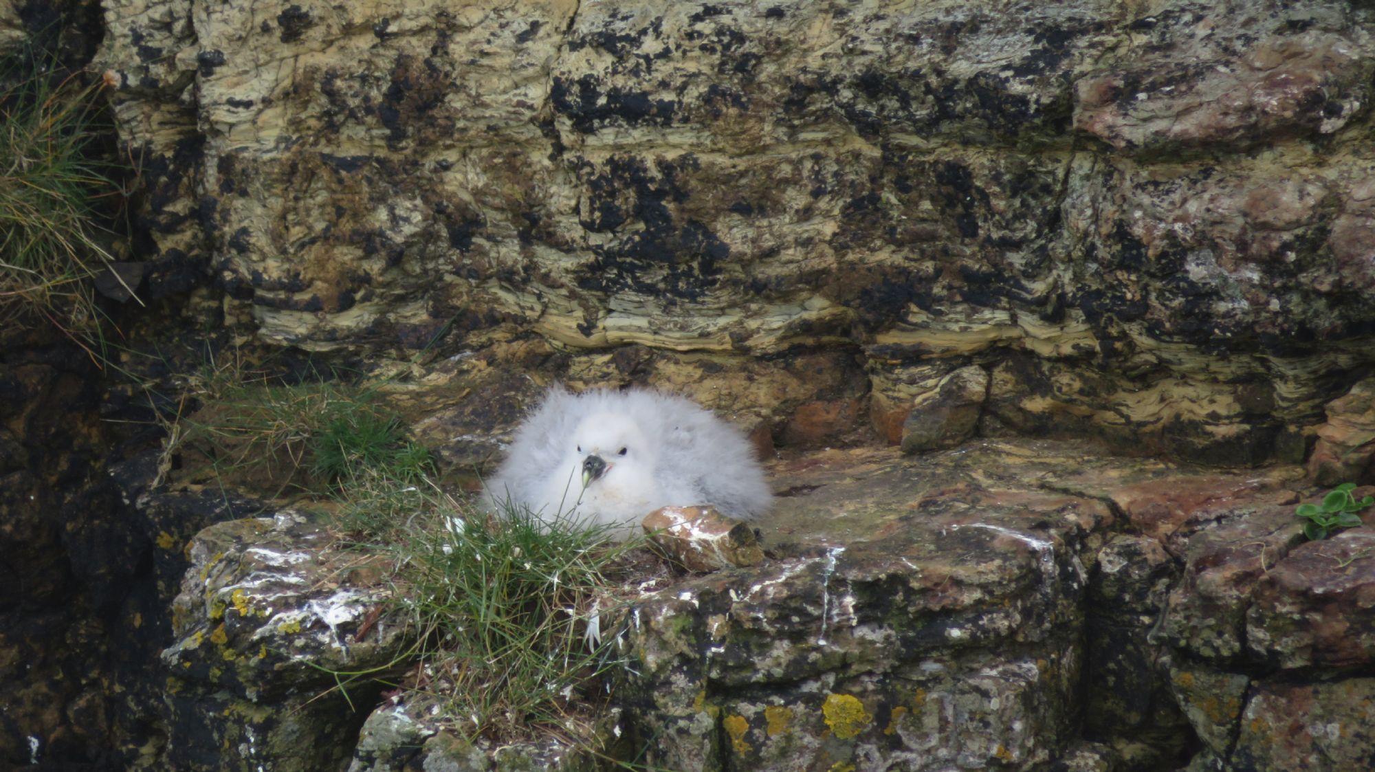 baby fulmar in the cliffs