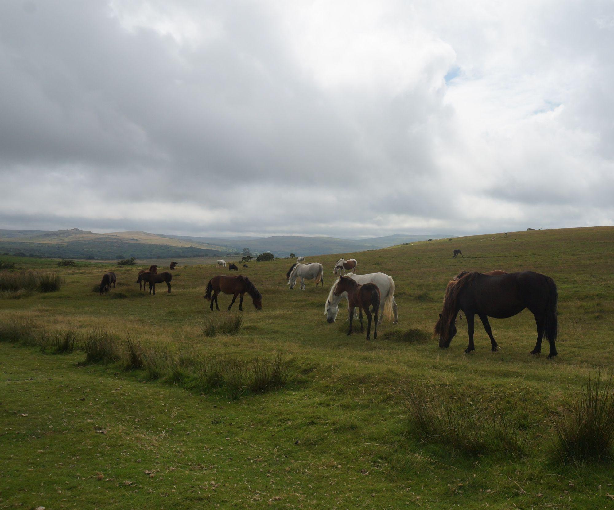 Dartmouthshire semiwild ponies