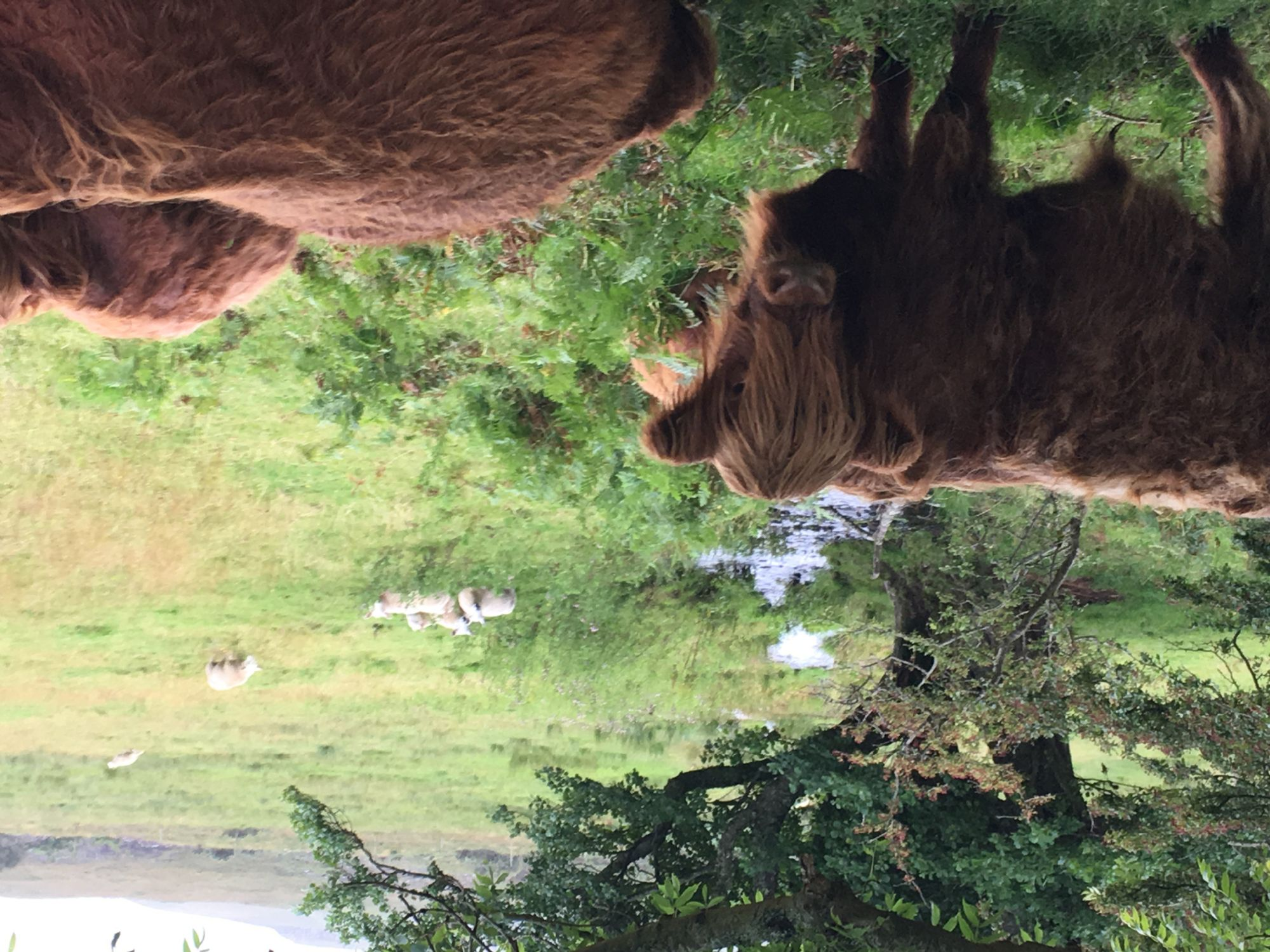 The Awesome Hairy Coos!