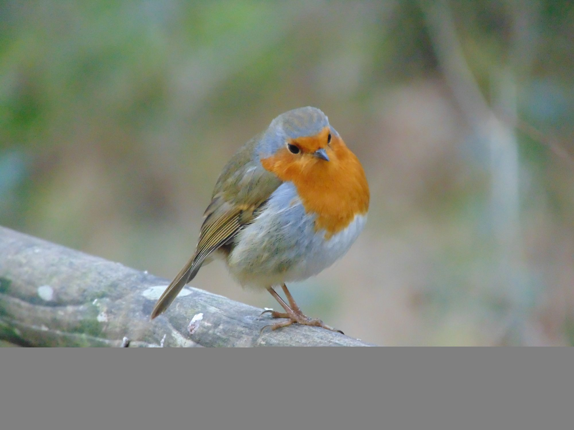 Friendly wee robin