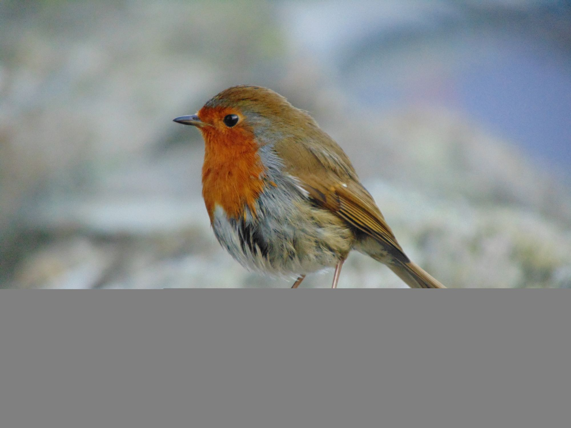 Super friendly wee robin