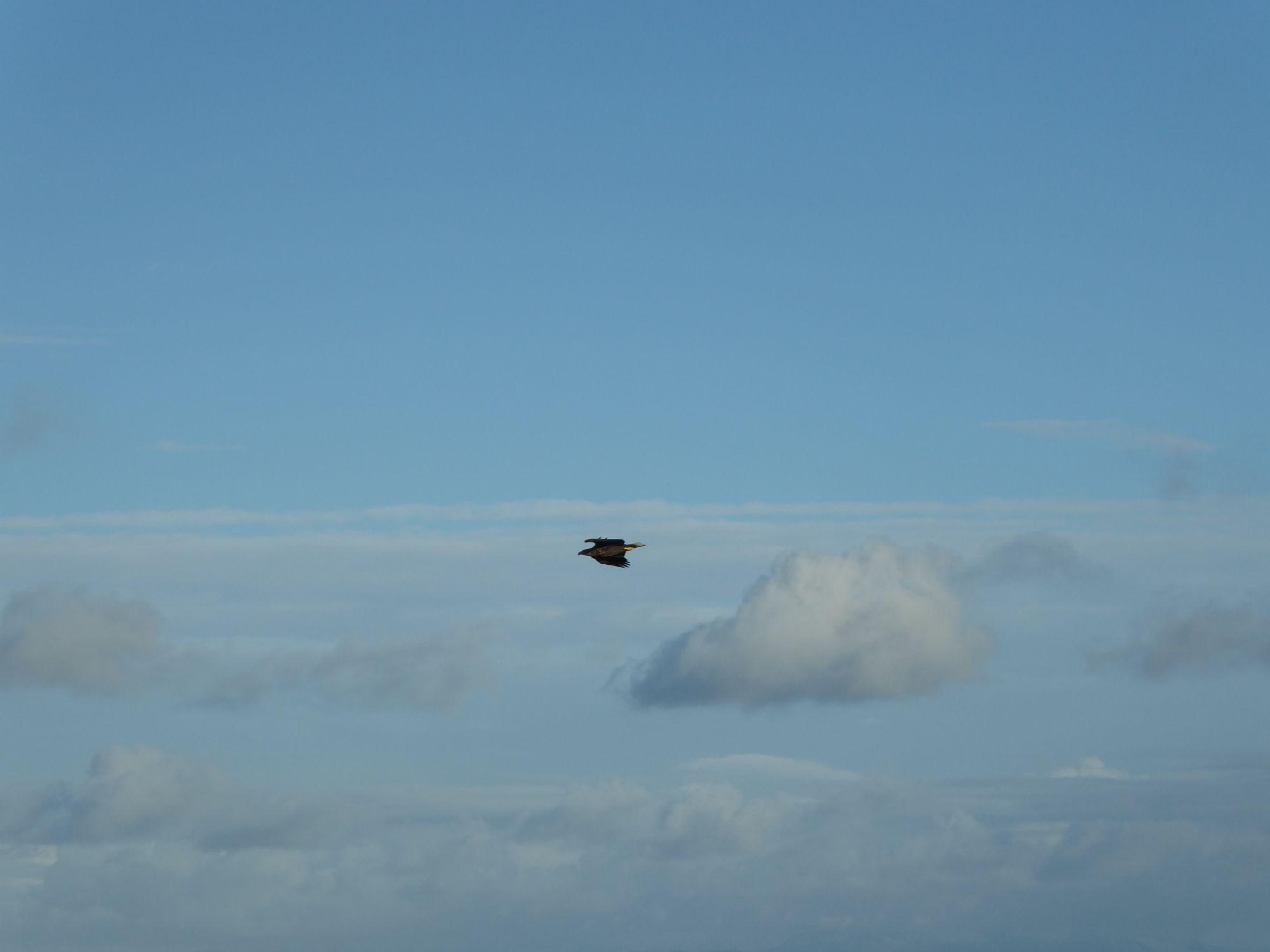 Sea Eagle flying past at Kilt