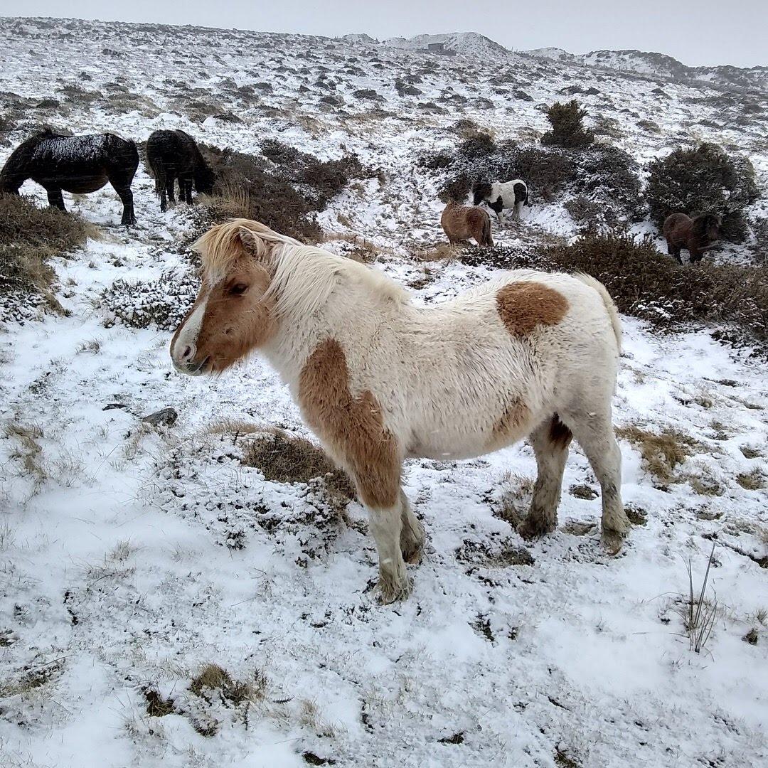 Snowy little pony at Dartmoor