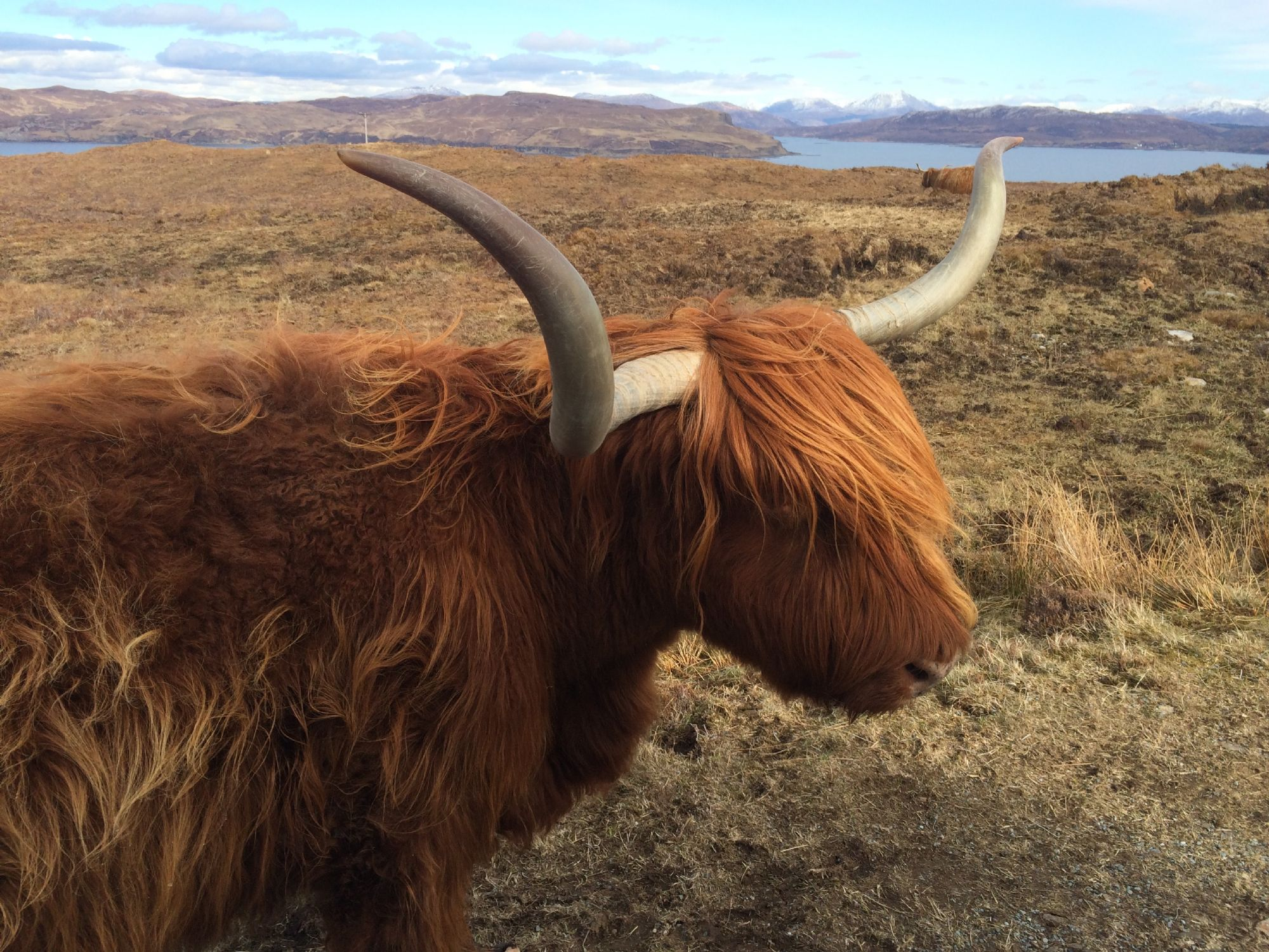 Highland Cow with a view