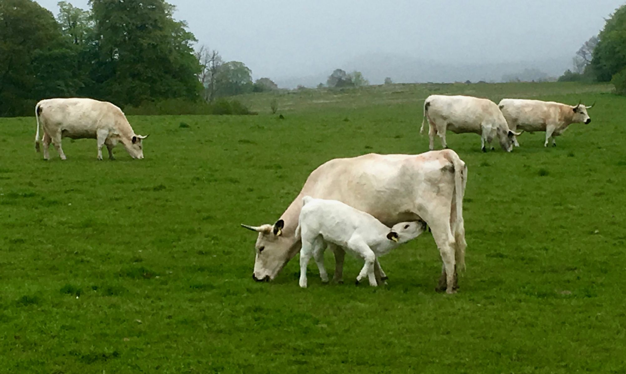 Dinefwr, White Park Cattle