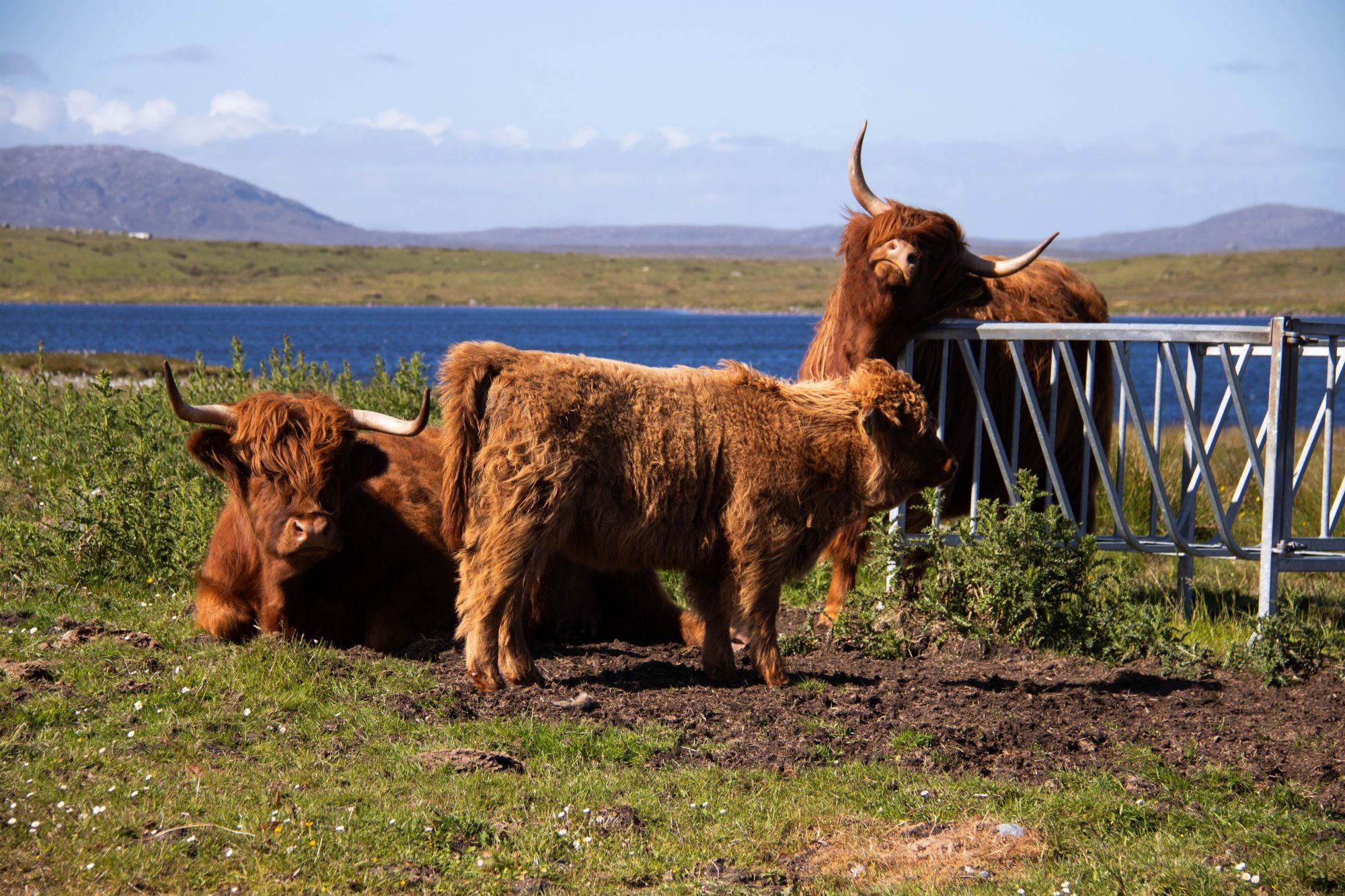 Hairy coos on Lewis