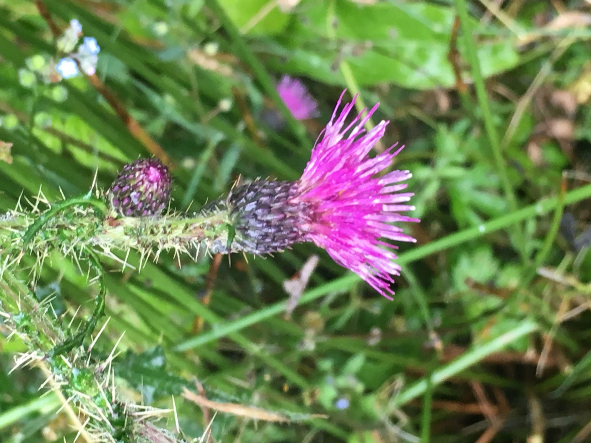 National flower, up close.