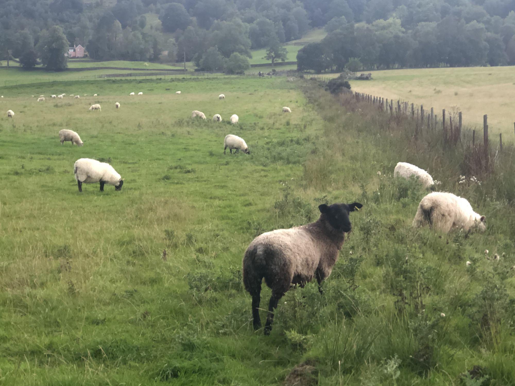 Sheep, sheep and more sheep!