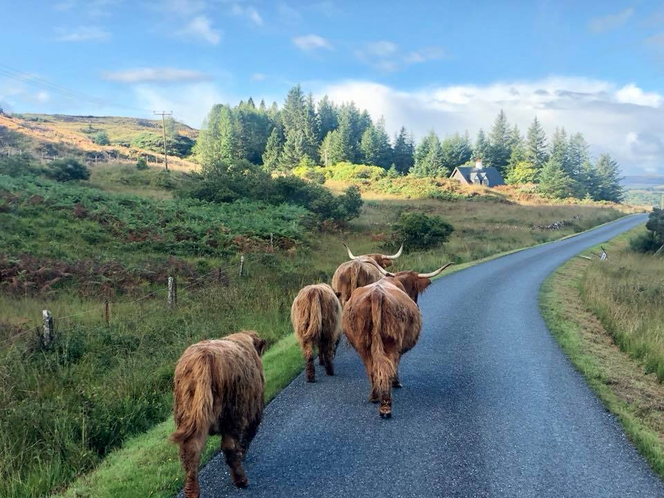 Highland cows in the road