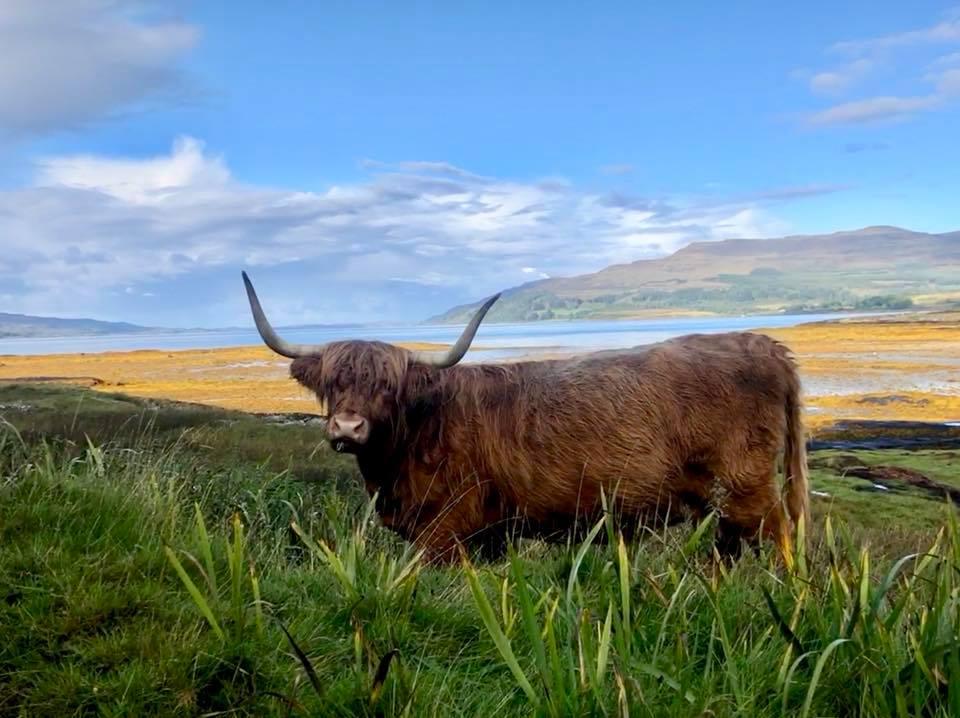 Highland cow sighting