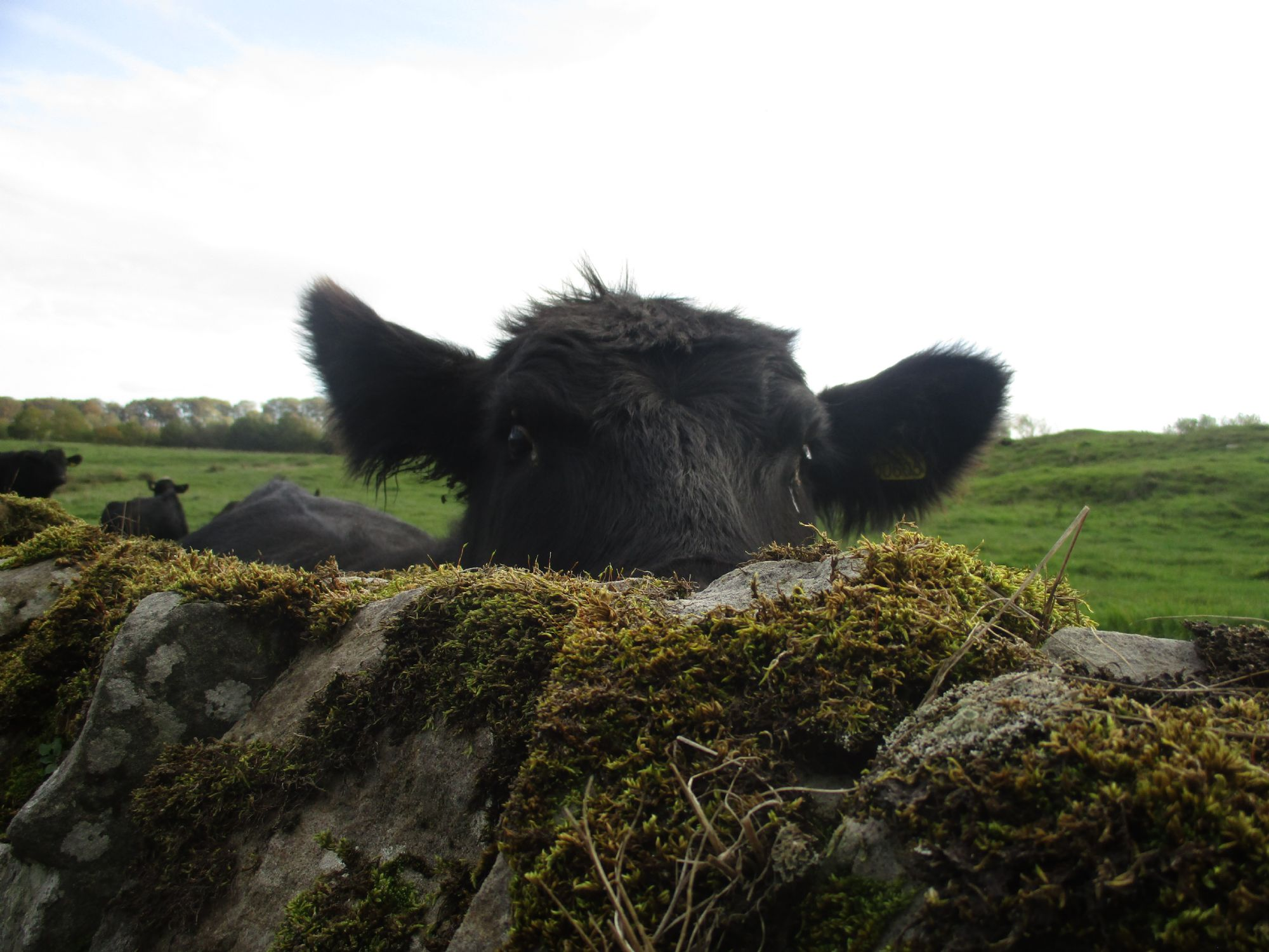 Lovely English coo!!