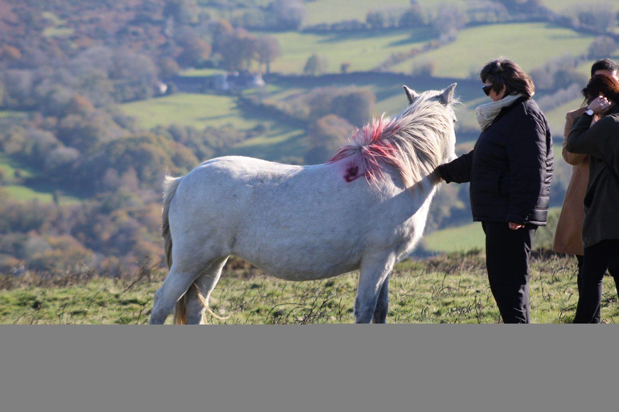 Dartmoor horses