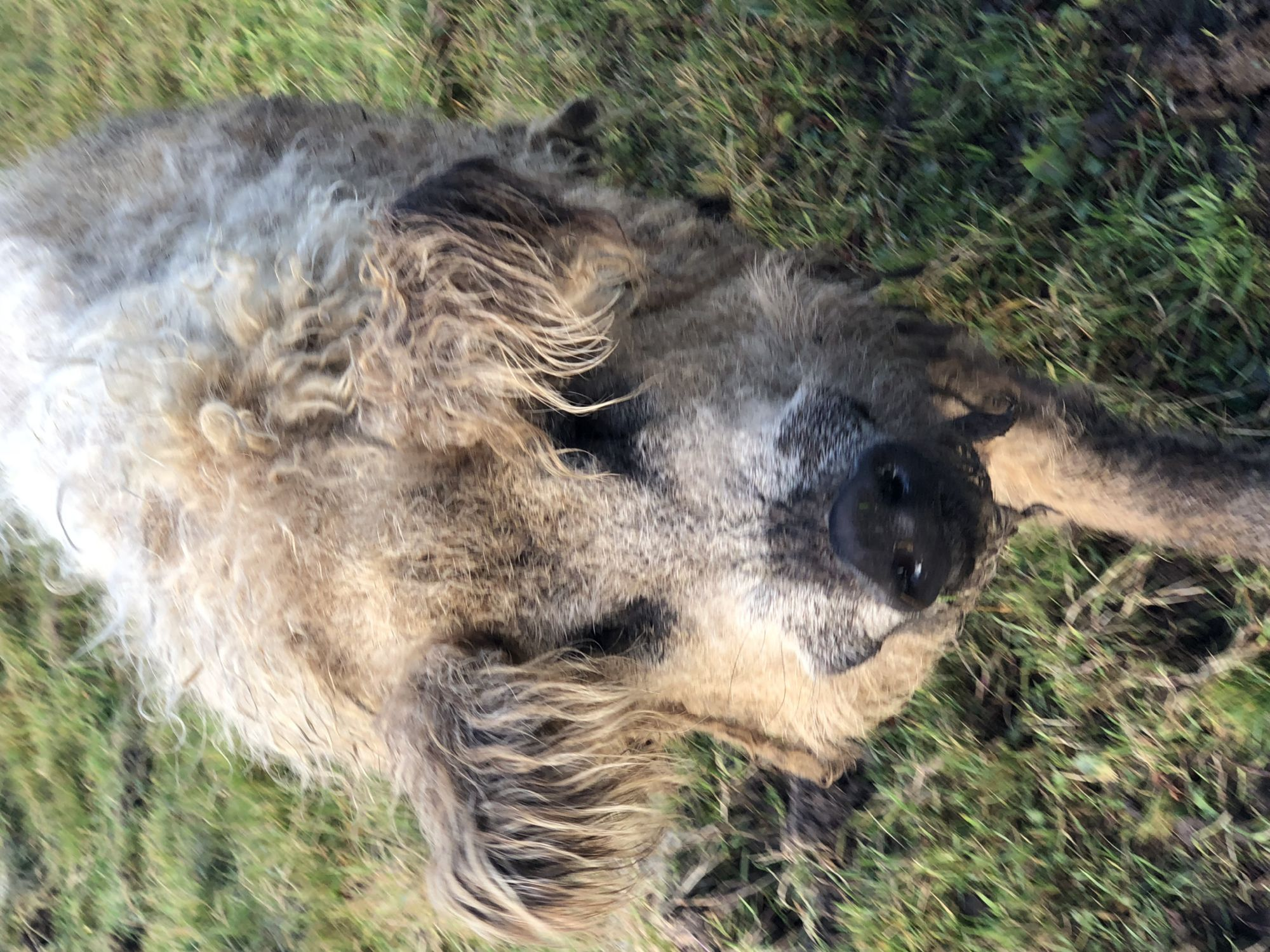 Hairy pig on Orkney