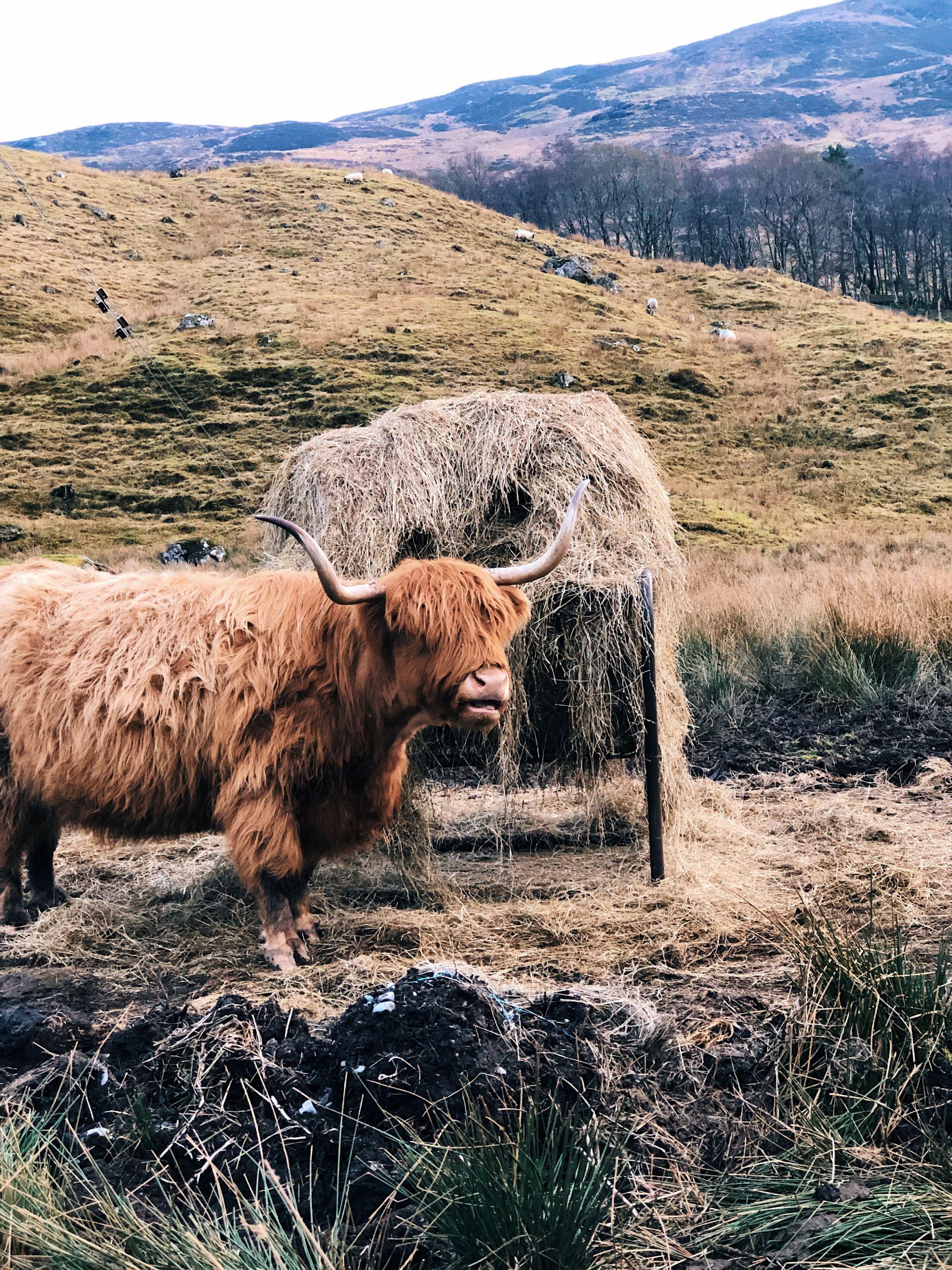 Heilan Coo - Highland Cattle