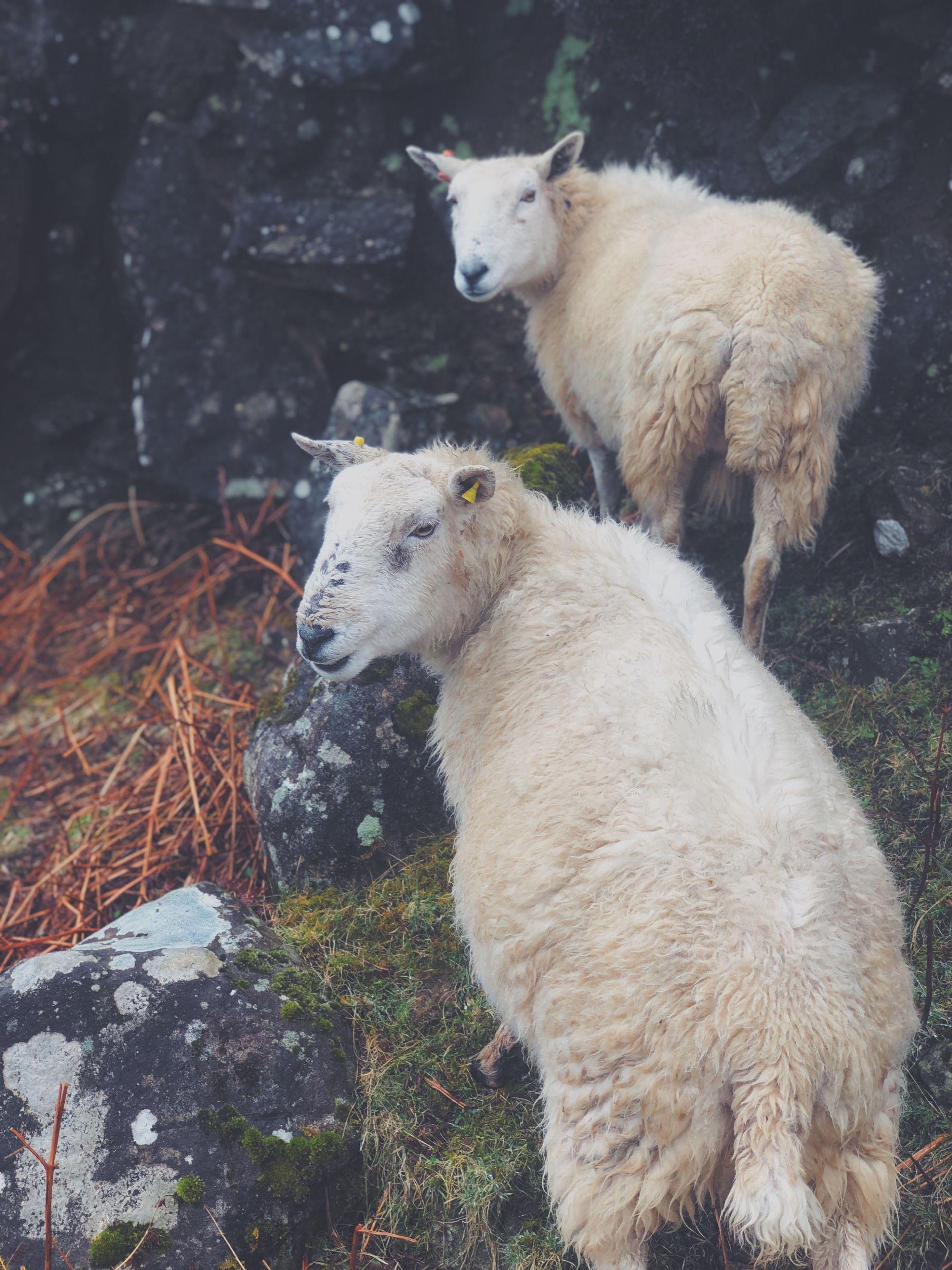 Sheeps ahoy