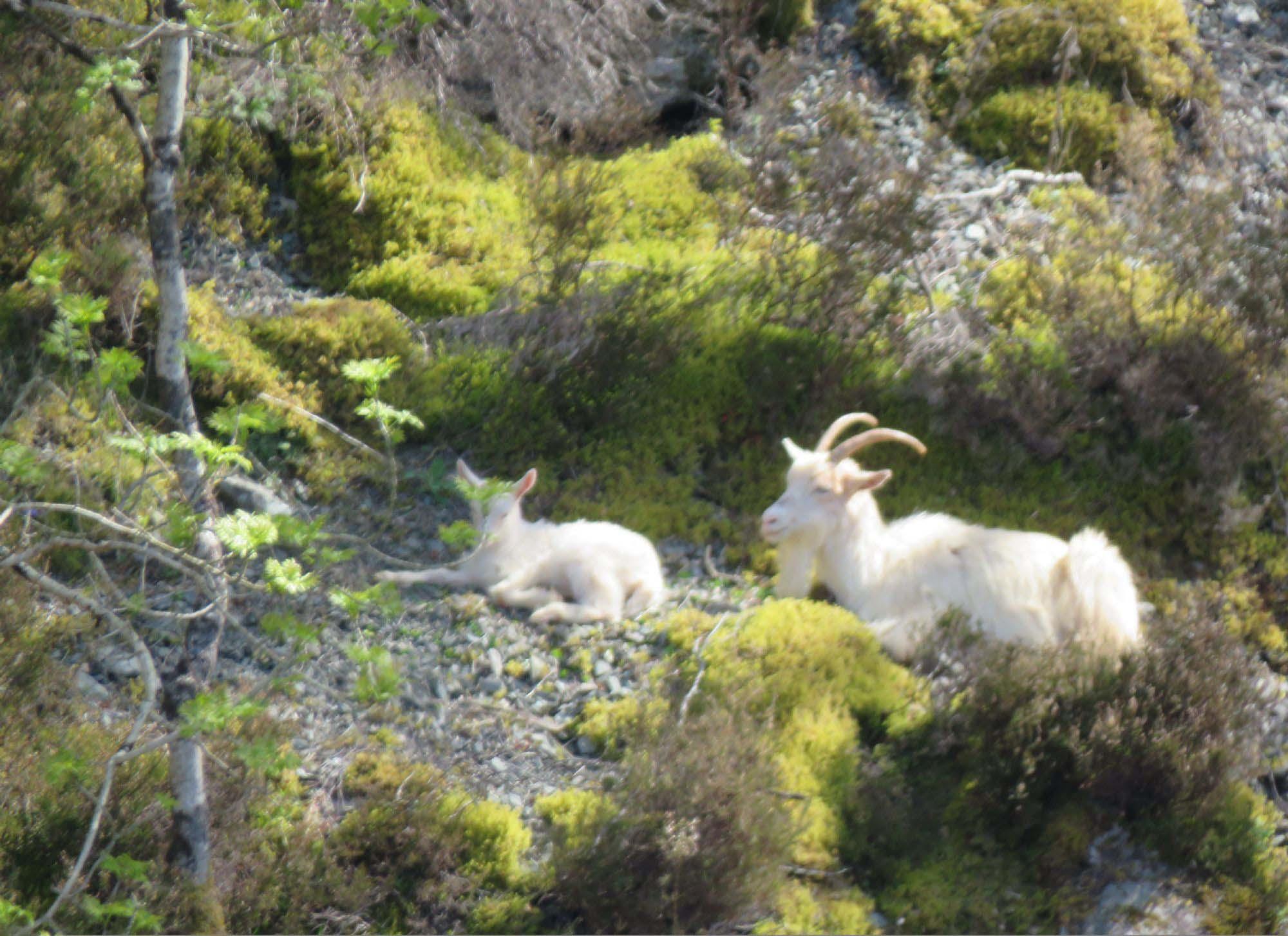 Mountain Goats Loch Ness