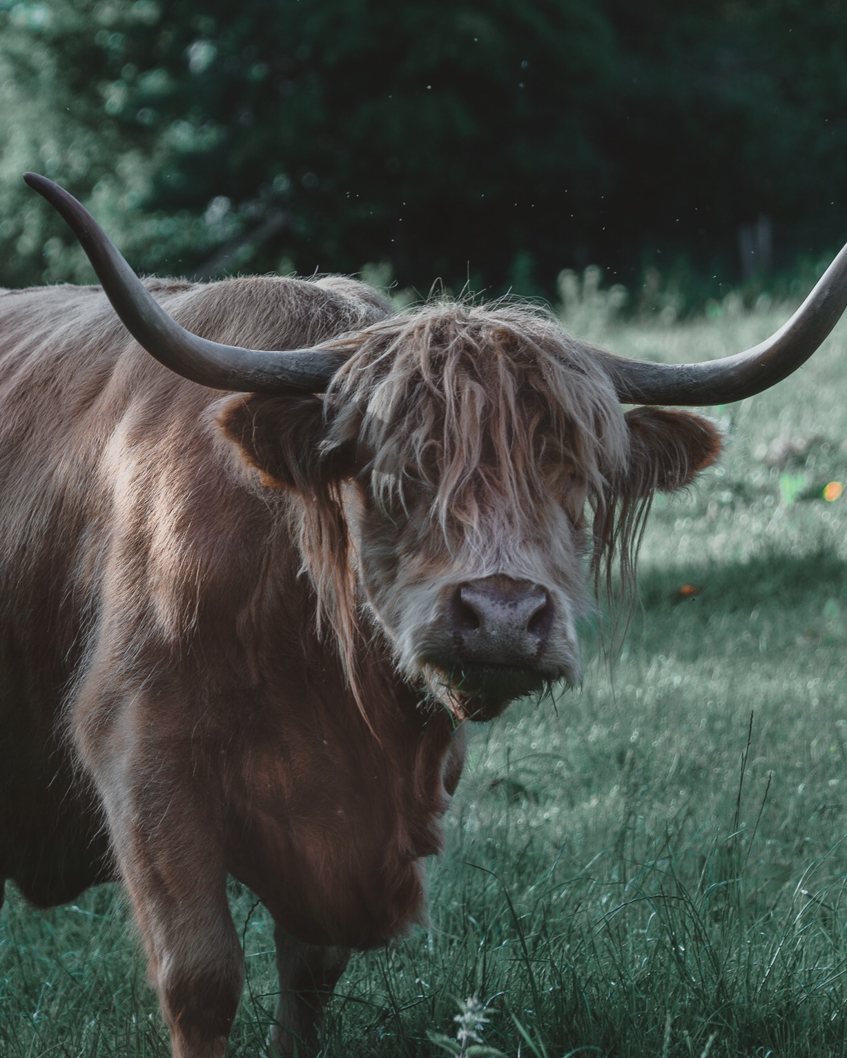 Highland Cow (heiland coo)