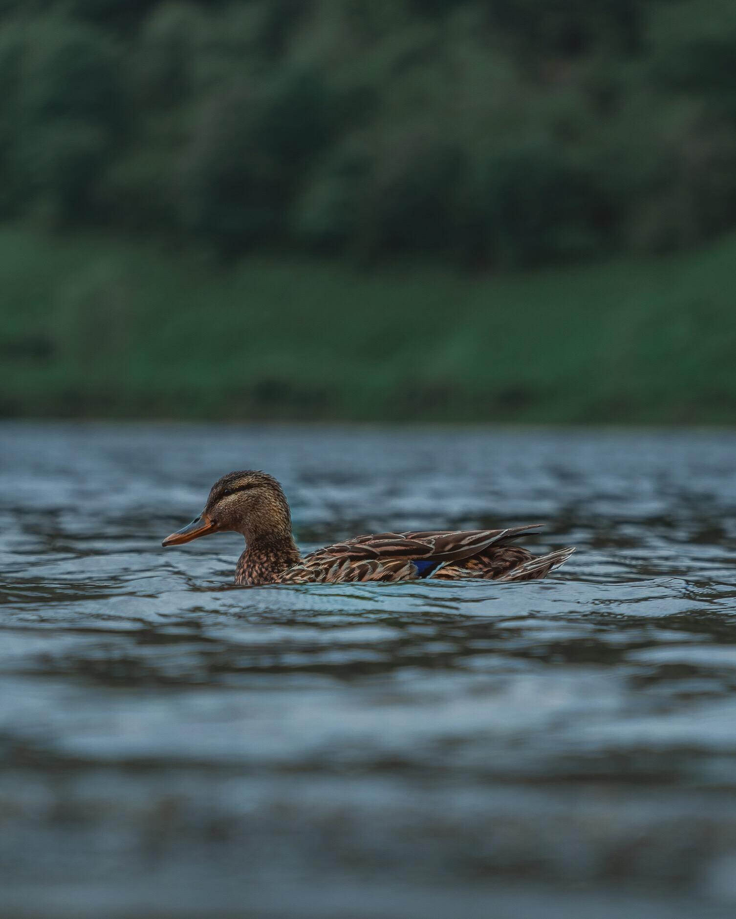 Loch Duck