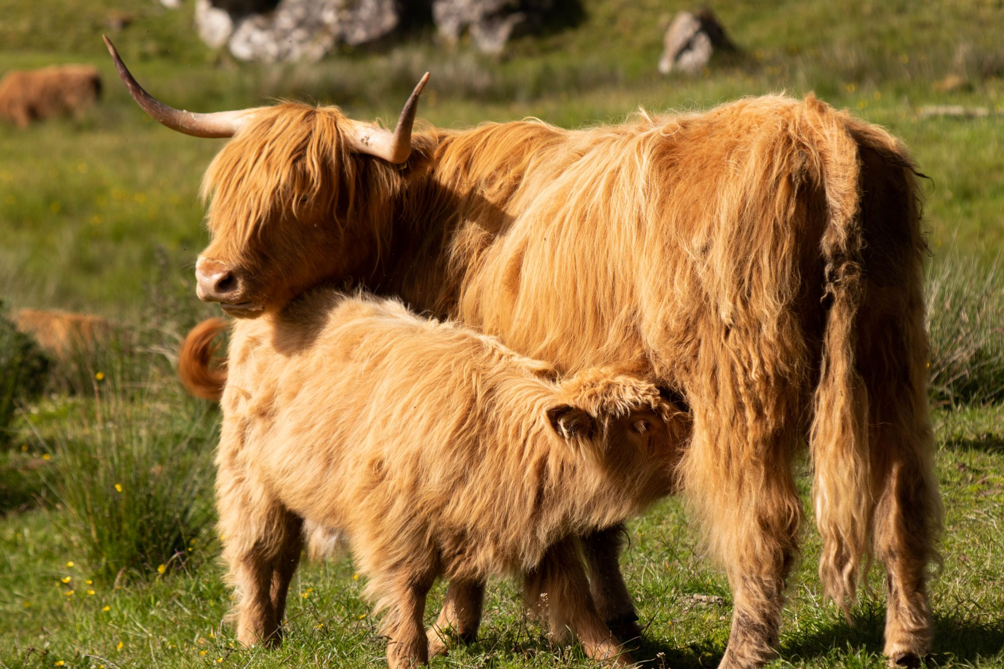 Hairy coos - so sweet