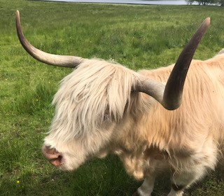 Happy Highland Cow