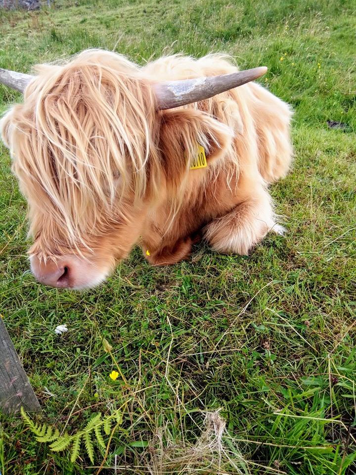 Highland cattle cutie