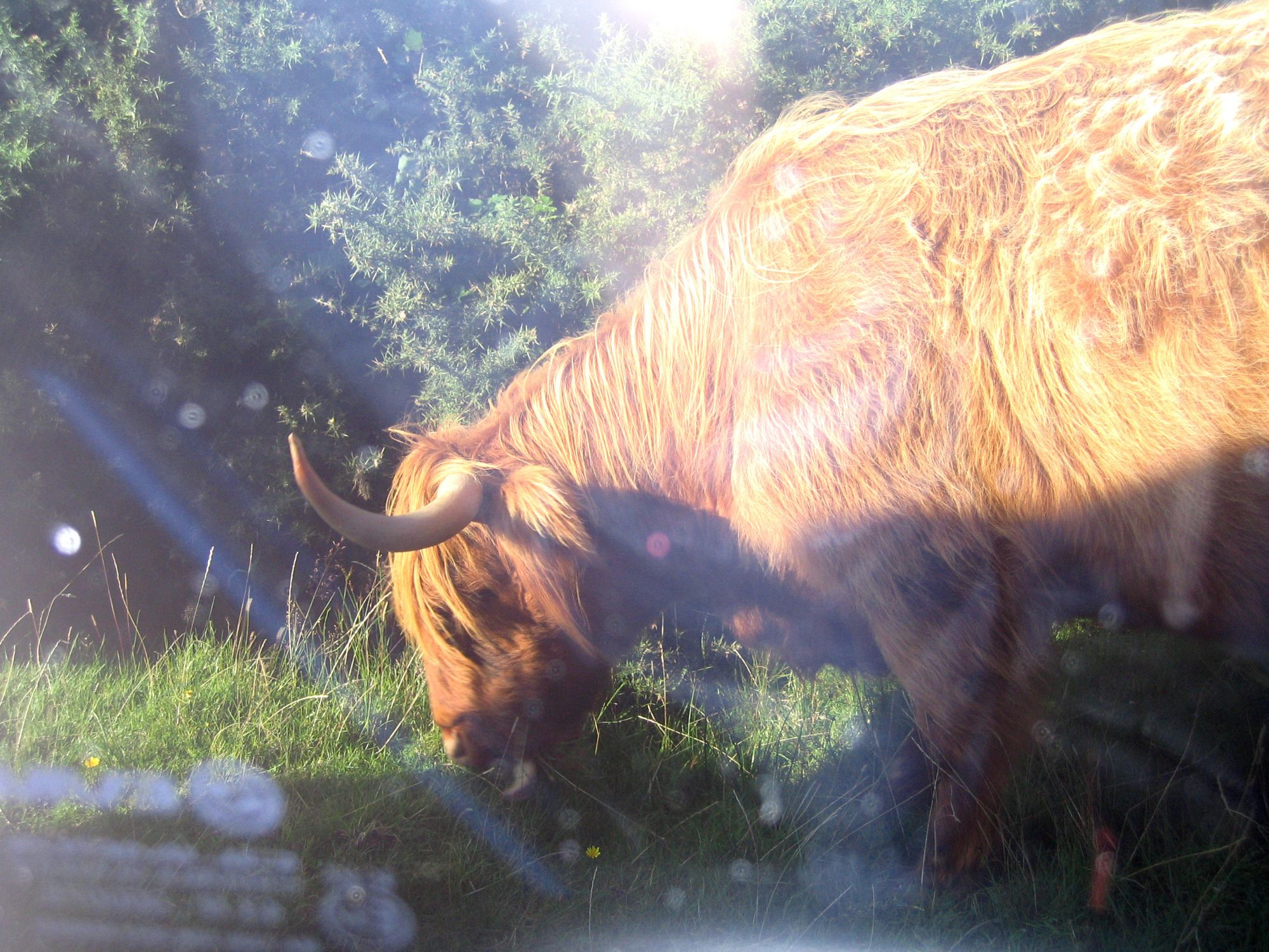 hairy coo from the bus