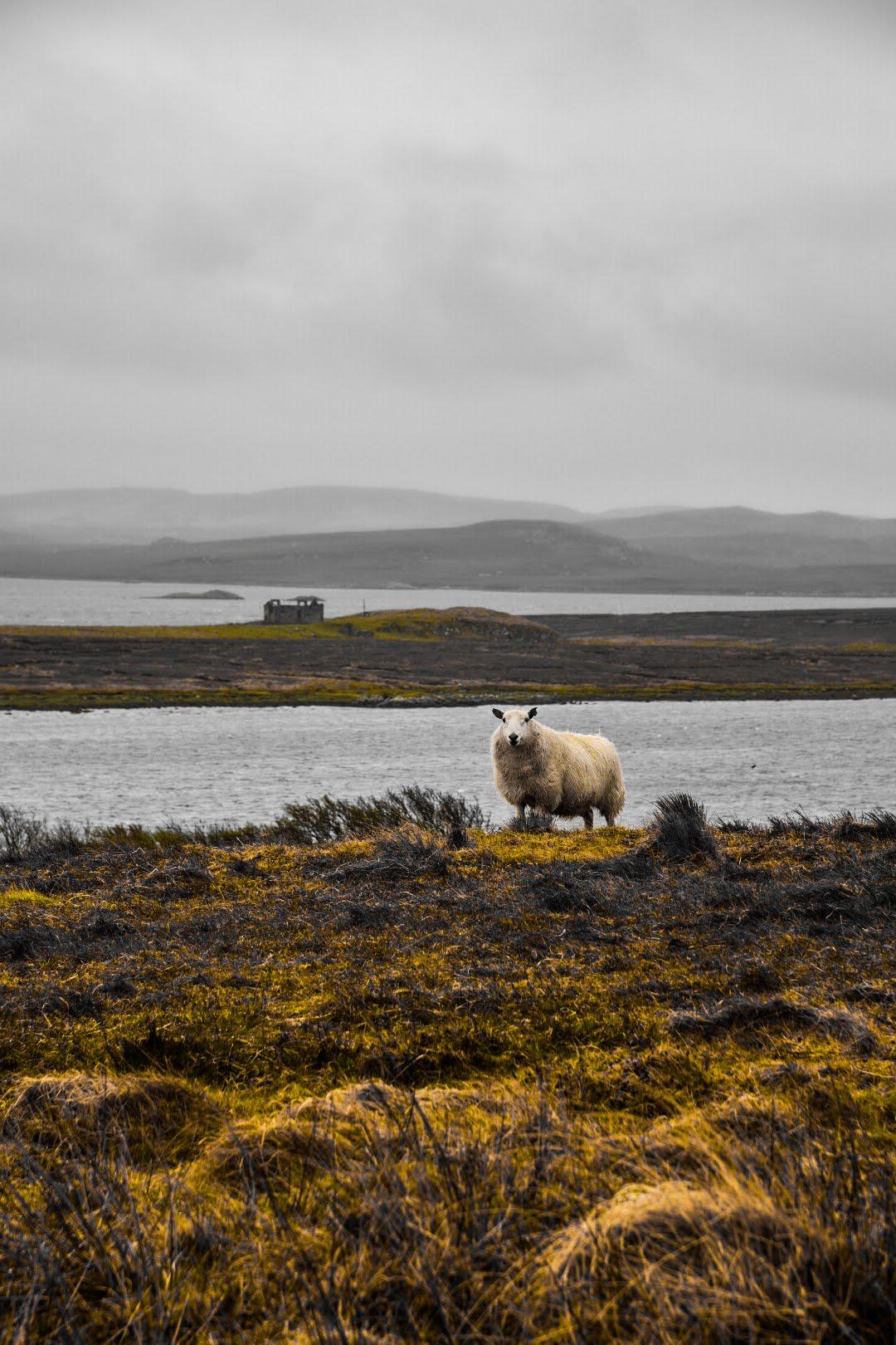 Sheep in Rusty Scottish Medow